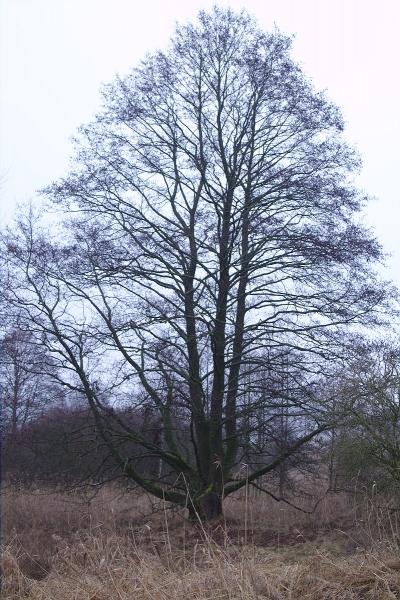 Baum am Perlsee
